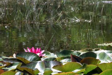 summer basin  pink lotus in like.