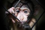 Schimpansenbaby hinter Gitter
