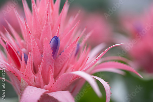 Bromeliad or color pineapple plants, decorative flower for the summer garden - 238143036