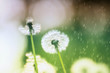 white fluffy dandelion flowers on the meadow under the summer rain . A joyous light-hearted mood. Soft selective focus.