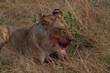 Lioness eating fresh prey