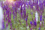 background of blooming sage - 238177692
