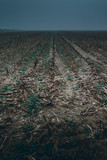 cornfield after the harvest - moody style image - 238191486