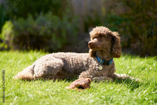 A miniature chocolate poodle lying on a green lawn on a sunny summers day.