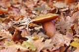 Flockenstieliger Hexen-Roehrling - dotted stem bolete in forest