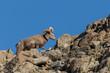 Desert Bighorn Sheep Ram