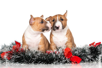 two adorable puppies with Christmas decorations posing on white