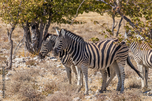 A herd of Zebras ( Equus Burchelli) standing by a bush, Etosha National Park, Namibia.