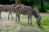 zebras in zoo