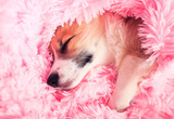 cute puppy sweetly sleeps in bed buried in a pink fluffy blanket pulling out a small nose and paw - 238255690