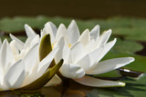 White water lilies with green petals on the round large leaves on a flat surface of the pond close-up