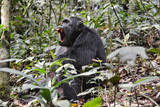 Large male chimpanzee showing red ferocious teeth in Kibale National Park Uganda