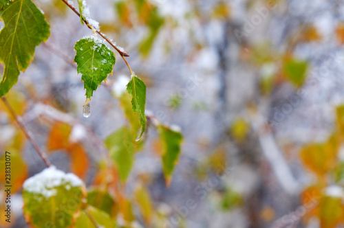 snow-covered tree branch, natural background - 238313077