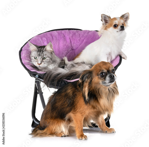 maine coon cat and chihuahua - 238336096