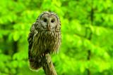 Ural Owl / Strix uralensis