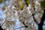 枝先で競い合う様に咲いている桜の花 - 238359874