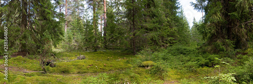 Spruce forest - 238364869