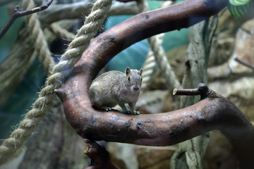 Cute gray rodent Moco or Rock Cavy Kerodon Rupestris on a branch © ironstuffy