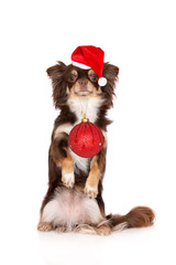 chihuahua dog in Santa hat holding Christmas ball in her mouth