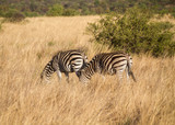 Zebras wandering around the savannah of Pilanesberg national park, South Africa