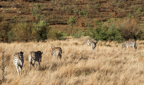 Zebras wandering around the savannah of Pilanesberg national park, South Africa