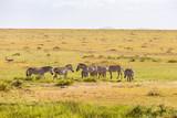 Flock of grazing Zebras on the savannah