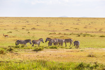 Flock of grazing Zebras on the savannah © Lars Johansson