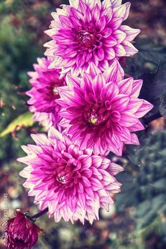 Variegated pink purple and white dahlias flowers cultivated in summer field, soft focus, blurred background