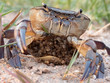 Western River Crab (Potamonautes perlatus)
