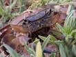 Western River Crab (Potamonautes perlatus)