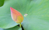 Pink lotus blooming in lotus pond in the morning at flower market,isolated,beautiful nature,blurred background