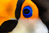 closeup of an eye tucano - 238407433