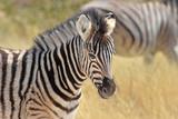 Zebrafohlen (Equus quagga) im Etosha Nationalpark in Namibia