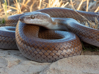 Brown House Snake (Boaedon capensis) © Willem Van Zyl