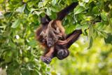 Alouatta palliata aequatorialis - Howler Monkey - 238423829