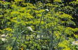 Two green garlic flowers on a blurred yellow and green background of dill flowers in a garden in summer - 238431481