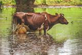 a cow standing in the water. after heavy rains and floods of the river.