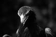 Black and White Eagle Hawk Kite Bird of Prey Birds Portrait