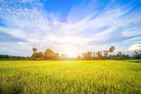 Beautiful green cornfield with fluffy clouds sky background. - 238478237