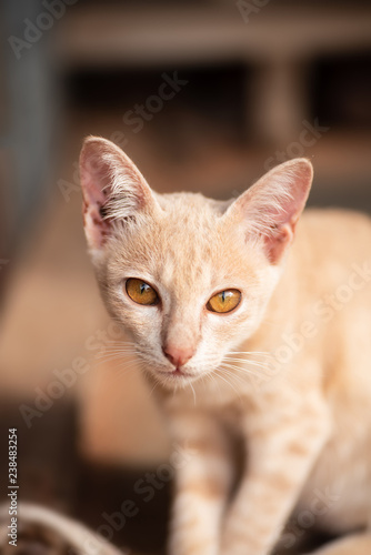 Ginger cat with yellow eyes, cute pet at home