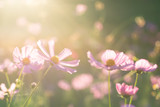 Pink cosmos flower blossom in the garden with sunlight © nungning20
