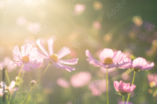 Pink cosmos flower blossom in the garden with sunlight
