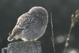 A cute baby Little Owl (Athene noctua) perching on a fence post at sunset. - 238488423