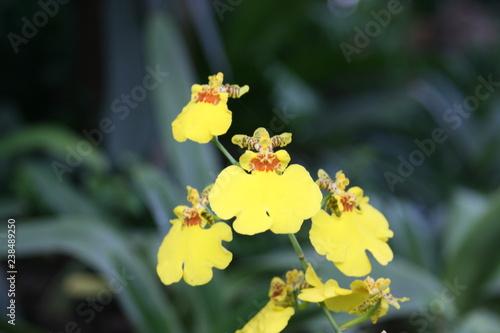gelbe Orchideen - 238489250