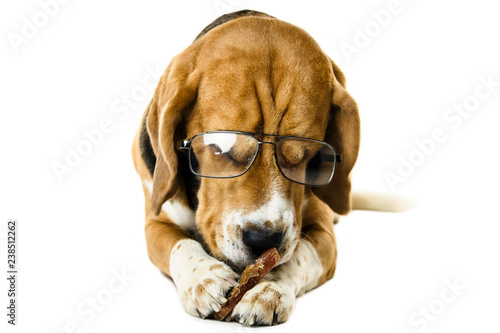 funny dog beagle in transparent glasses on a white background