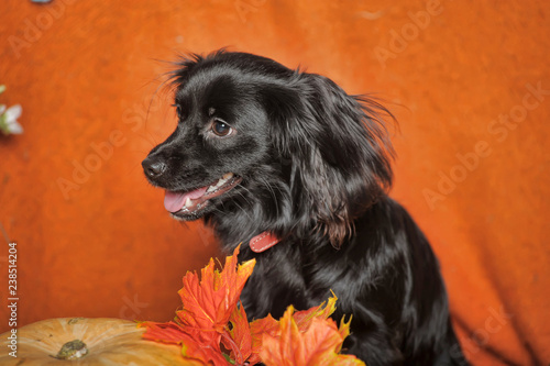 little black dog on an orange autumn background with maple leaves and pumpkin - 238514204