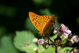 silver-washed fritillary butterfly on blackberry - 238519838