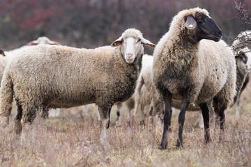 Herd of sheep on pasture © Dusan Kostic