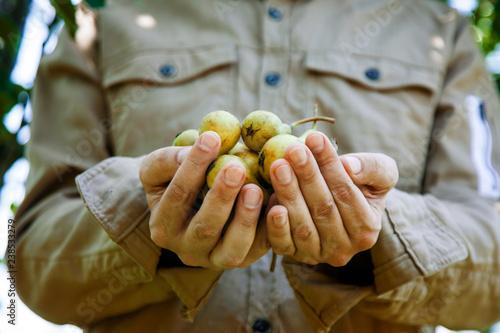 Pears in farmers hands © mythja