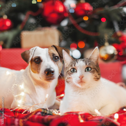 Dog and cat in christmas decoration - 238539257